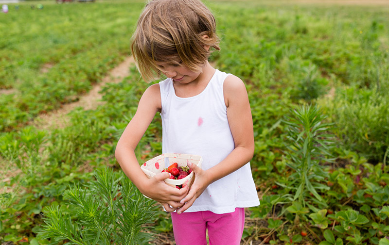 Little girl holding a box of strawberries while standing in a strawberry field