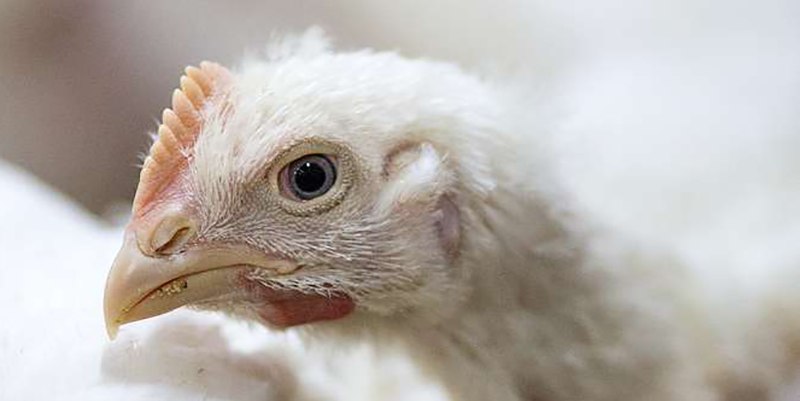 Close up of white broiler chicken